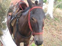 Härligt exempel av en colombiansk mula arkivfoto