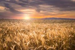 härligt fält över solnedgångvete Arkivfoton