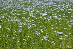 Härligt fält av lin som blommar i sommaren arkivbild