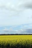 Härligt fält av Manitoba Canola Arkivfoton