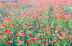 Härligt fält av röda vallmo Arkivbild