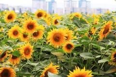 Härligt fält av solrosor på en stadsbakgrund Arkivfoto