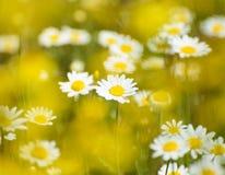 Härligt fält av Sunny Chamomile Flowers fotografering för bildbyråer