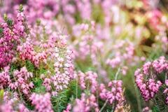 Härligt fält av vibrerande rosa ljung (den vulgaris callunaen) som utomhus blomstrar i vårsol Royaltyfria Bilder