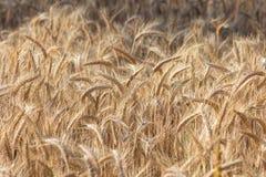 Härligt fält - guld- mogen råg i sol Arkivbilder