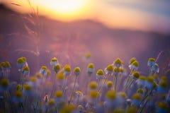 Härligt fält med kamomill på solnedgången Arkivbilder
