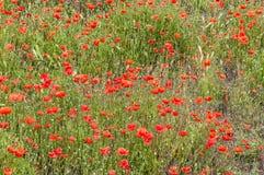 Härligt fält som fylls med röda vallmo royaltyfria foton