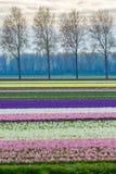 Härligt färgglat blommafält i Nederländerna Arkivbilder