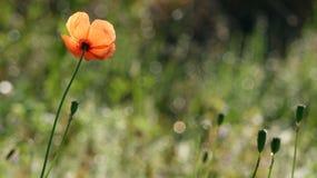 Härligt försiktigt, fältvallmo Röd vallmo på en grön bakgrund Royaltyfri Fotografi