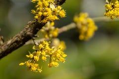 H?rligt fatta med ljusa gula blommor p? suddig naturlig gr?n bakgrund Mjuk selektiv k?rsb?rsr?d blomning f?r makrofokuskarneol arkivfoto