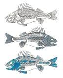 härligt fiskillustrationskelett Royaltyfri Bild