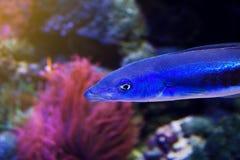 Härligt fiskRöda havet Coral Animal Horisontal med kopieringsavstånd Arkivbilder