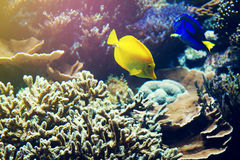 Härligt fiskRöda havet Coral Animal Horisontal med kopieringsavstånd Arkivbild