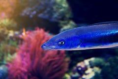 Härligt fiskRöda havet Coral Animal Horisontal med kopieringsavstånd Royaltyfri Bild