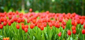 Härligt fjädra den röda tulpan för blommor Arkivfoton