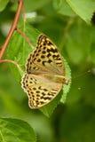 Härligt fjärilssammanträde på ett grönt blad Royaltyfria Bilder