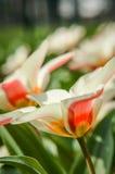 Härligt flerfärgat tulpanfält Arkivfoto