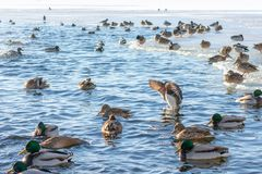 Härligt flyg för mandarinand på sjön eller floden Sällsynt art av anden royaltyfri fotografi