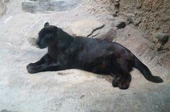 Härligt foto av den behagfulla svarta leoparden - panter Arkivbild