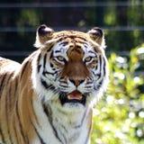 Härligt foto av en tiger royaltyfri bild