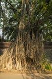 Härligt gammalt träd i Pune Indien arkivbild