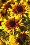 Härligt glöd av solrosor Fotografering för Bildbyråer