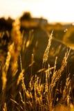 härligt gräs exponerad trevlig solnedgång Royaltyfri Fotografi
