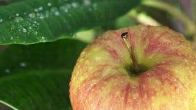 Härligt grönt äpple med vattendroppar stock video