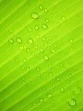 Härligt grönt bananblad med vattendroppar Royaltyfri Fotografi
