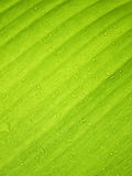 Härligt grönt bananblad med vattendroppar Royaltyfria Foton