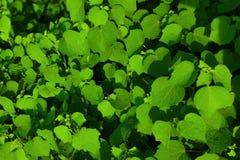Härligt grönt blad av trädet fotografering för bildbyråer
