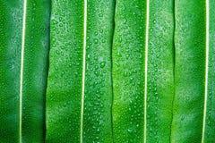Härligt grönt blad med droppar av vatten Arkivfoton
