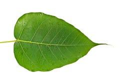 Härligt grönt blad som isoleras på vit Arkivbild
