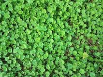 härligt grönt Dichondra repensgräs Royaltyfri Foto