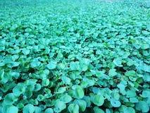 härligt grönt Dichondra repensgräs Arkivbilder