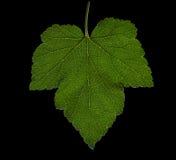 Härligt grönt druvablad på en mörk bakgrund Ett druvablad Skuggigt grönt blad på en svart bakgrund Sommarsidor Royaltyfria Bilder