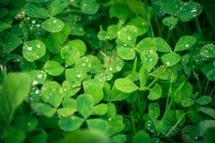 Härligt grönt gräs för tre sidor med vattendroppar arkivfoton