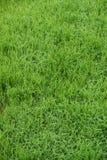 Härligt grönt gräs i morgonen Royaltyfri Bild