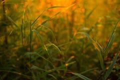 Härligt grönt gräs i orange solnedgångsolljus med bokeh Royaltyfri Bild