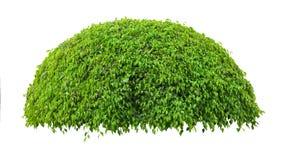 Härligt grönt nytt dekorativt träd som isoleras på den vita backgrouen arkivbilder