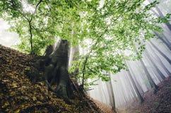 Härligt grönt träd i förtrollad skog med dimma royaltyfria foton