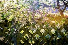 Härligt grönt träd med en gammal stenvägg och solen royaltyfria bilder
