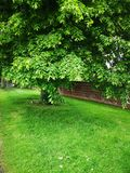 Härligt grönt träd - vårbild royaltyfria bilder