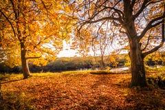Härligt guld- höstlandskap med träd och guld- sidor i solskenet i Skottland royaltyfria foton