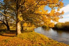 Härligt guld- höstlandskap med träd och guld- sidor i solskenet i Skottland fotografering för bildbyråer