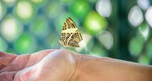 Härligt guling- och bruntfjärilssammanträde på hand- och gräsplangallermodellen royaltyfri bild