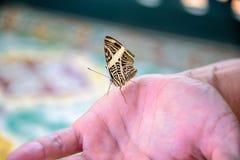 Härligt guling- och bruntfjärilssammanträde på handen royaltyfri bild