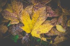 Härligt gult höstblad på jordningen Arkivbild