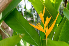 Härligt gult Heliconia blommaträd i den tropiska botaniska trädgården Royaltyfri Fotografi