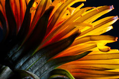 Härligt gult maskrosslut upp. Arkivfoton
